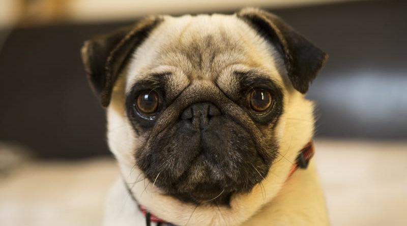 alergia em Pugs